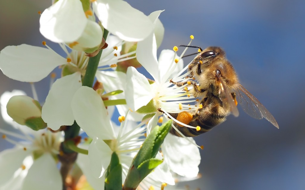 bee-on-cherry-blossom-1403010_1920